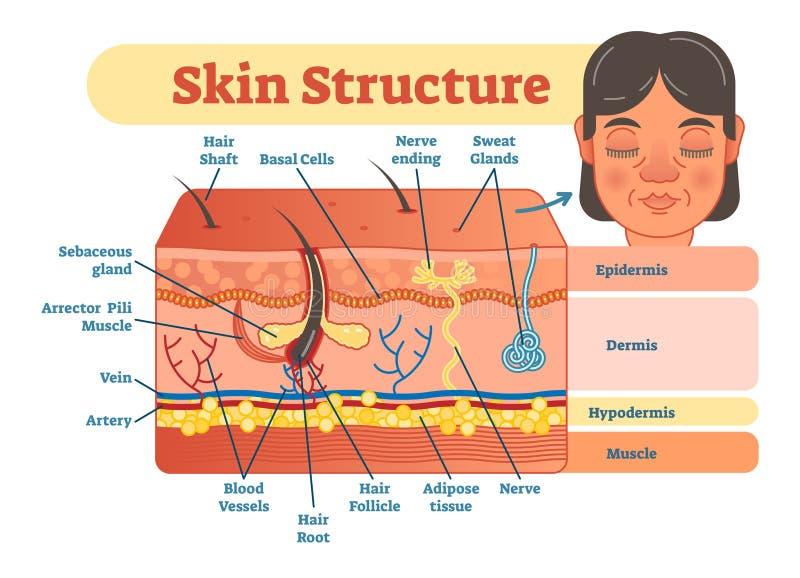 Pele el diagrama del ejemplo del vector de la estructura con capas de la piel y elementos principales Información médica educativ stock de ilustración