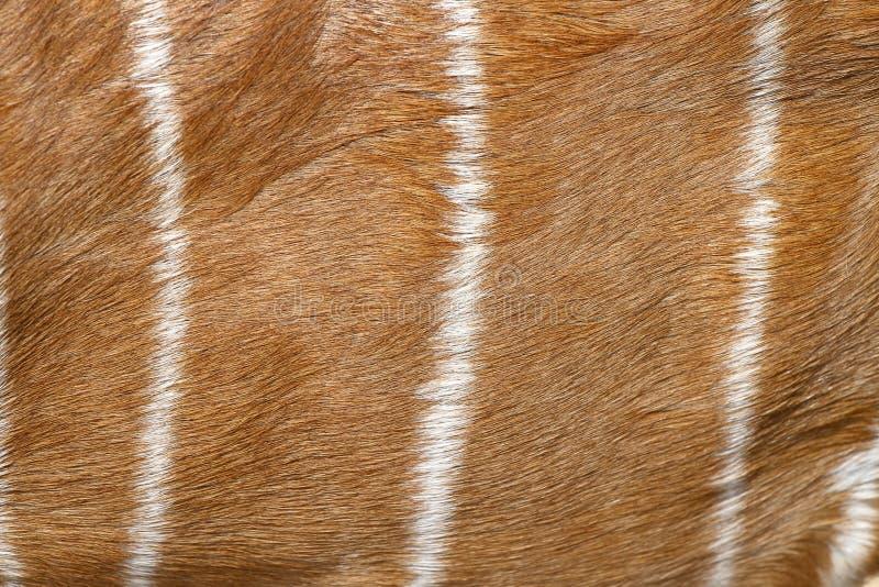 pele fêmea do Nyala para o teste padrão imagens de stock royalty free