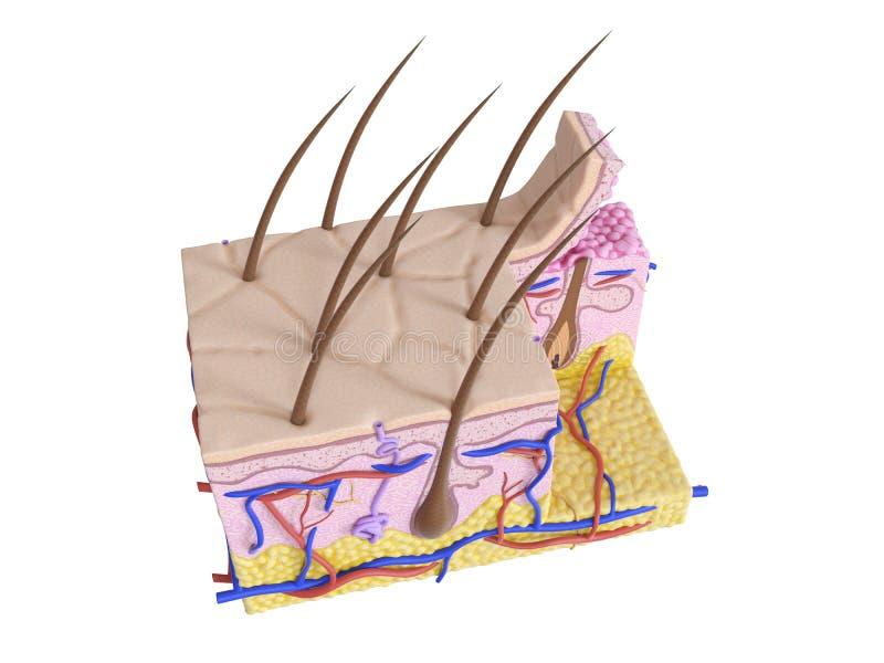 A pele humana ilustração do vetor