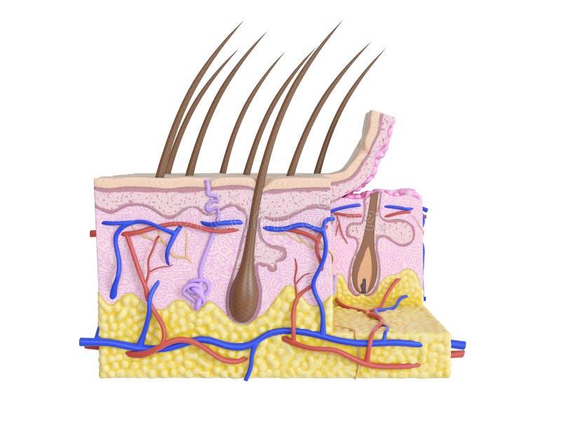 A pele humana ilustração stock