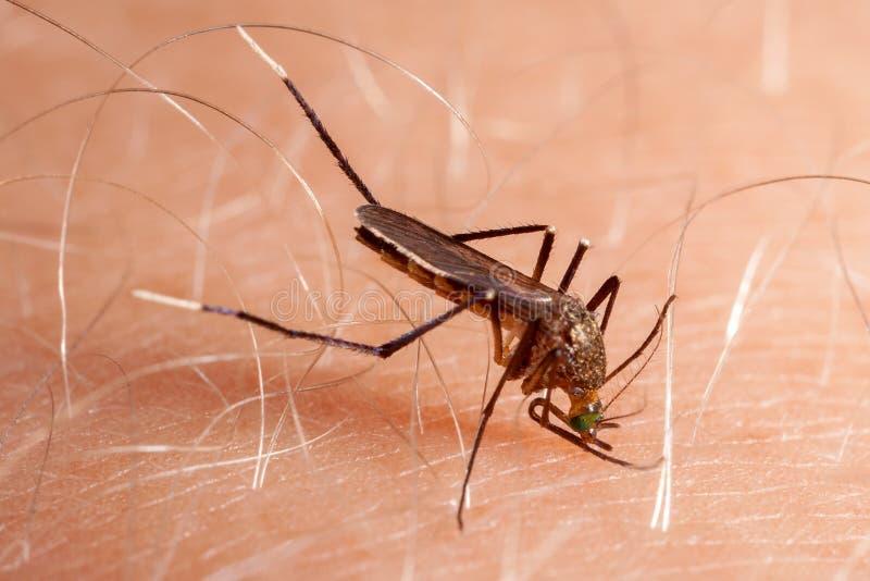 Pele humana cortante do mosquito fotografia de stock royalty free