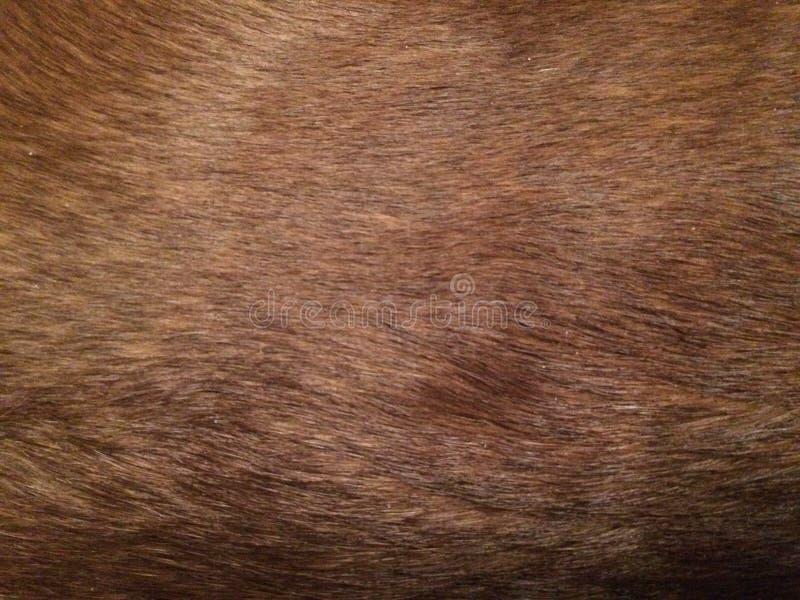 Pele lisa de Labrador do chocolate imagem de stock royalty free