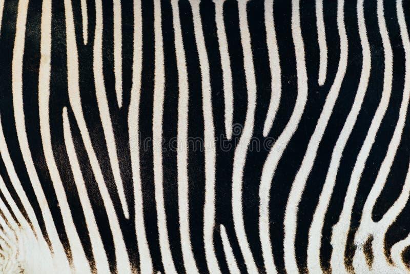 Pele preto e branco da zebra imagens de stock royalty free