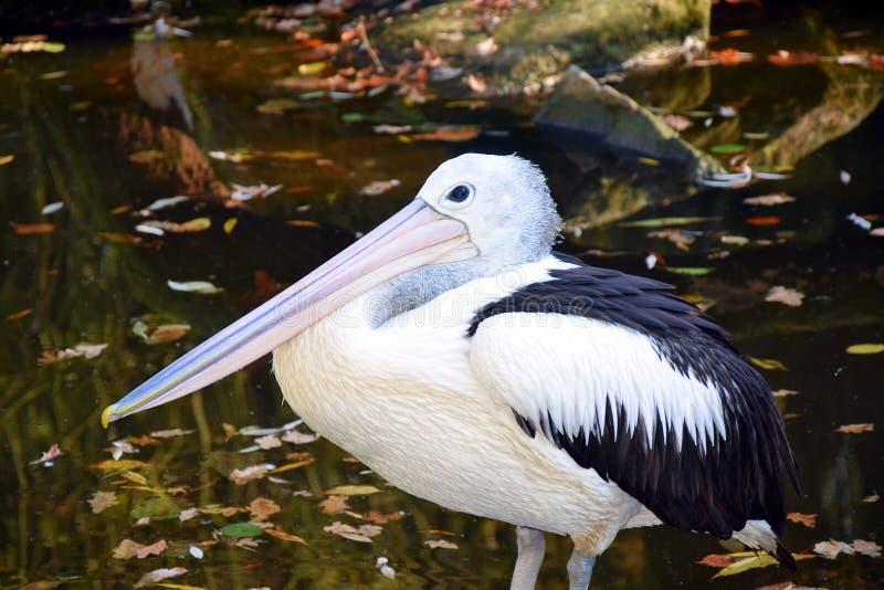 Pelecanus Conspicillatus Pelican in Water Stock Photo royalty free stock image