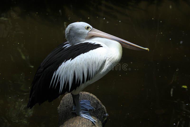 Pelecanus för vit pelikan arkivbild