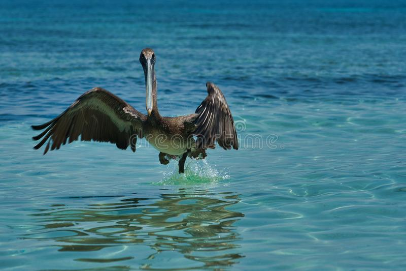 Pelecanus occidentalis, marrom, nas águas quentes do Caribe fotografia de stock