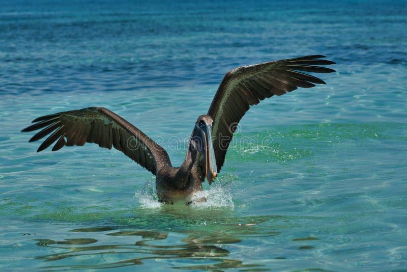 Pelecanus occidentalis, marrom, nas águas quentes do Caribe fotos de stock royalty free