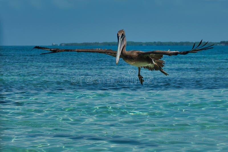 Pelecanus occidentalis, marrom, nas águas quentes do Caribe foto de stock