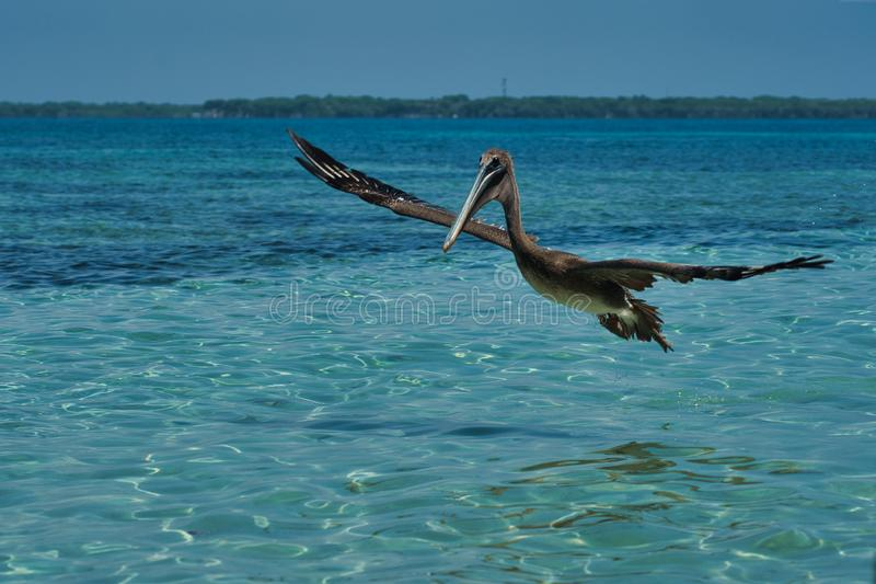 Pelecanus occidentalis, marrom, nas águas quentes do Caribe imagens de stock royalty free