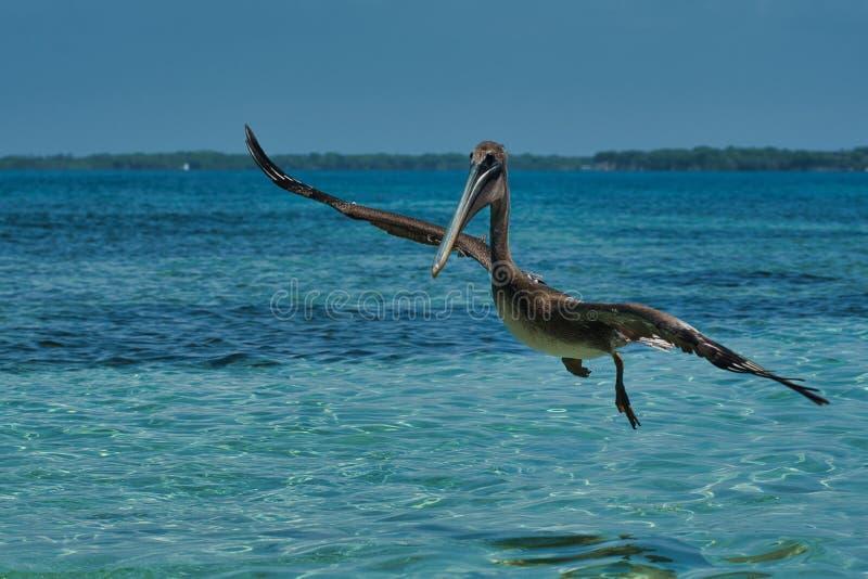 Pelecanus occidentalis, marrom, nas águas quentes do Caribe imagem de stock royalty free