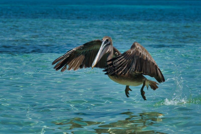 Pelecanus occidentalis, marrom, nas águas quentes do Caribe foto de stock royalty free