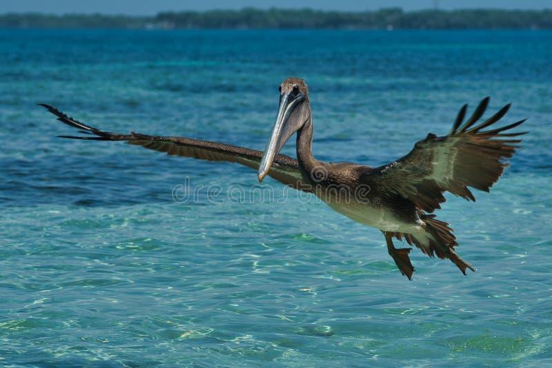 Pelecanus occidentalis, marrom, nas águas quentes do Caribe imagens de stock