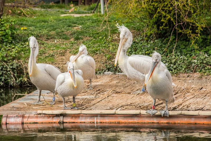 Pelecanus onocrotalus / Great white pelican in a group on a platform on a lake. Great white pelican also known as the eastern white pelican, rosy pelican or stock images