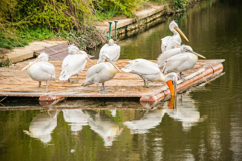 Pelecanus onocrotalus / Great white pelican in a group on a platform on a lake stock photography