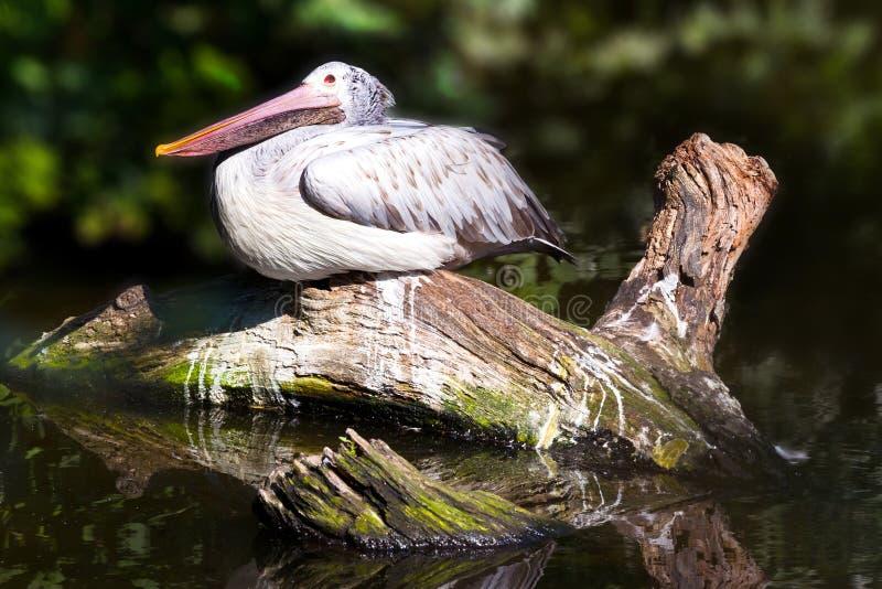 Pelecanus onocrotalus wielki biały pelikan/, zoologiczny ogród, Troja okręg, Praga, republika czech obrazy royalty free