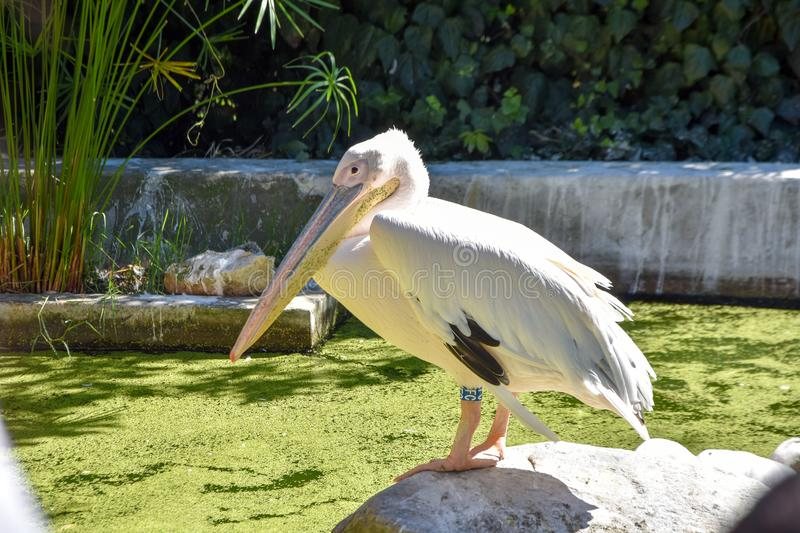 Pelecanus onocrotalus in a zoo . stock image