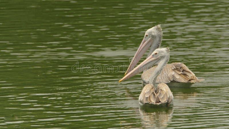 Pelecanusphilippensis - par av fläcken fakturerade pelikan som simmar på en fridfull sjö royaltyfria bilder