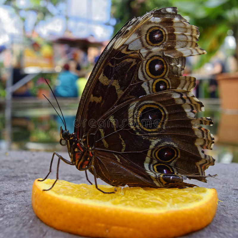 Peleides blue morpho butterfly on orange fruit close-up. The Peleides blue morpho butterfly sitting on an orange slice in a tropical greenhouse. The underside of stock images