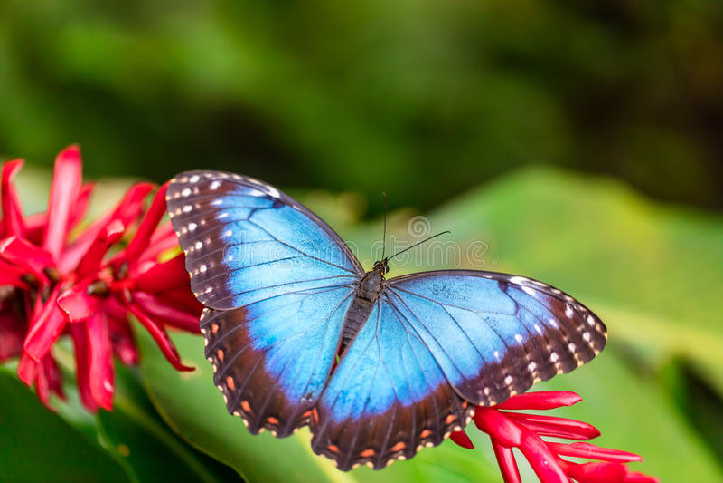 Peleides Morpho blu sul fiore del fiore immagini stock libere da diritti