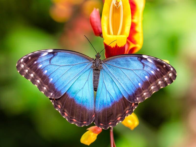 Peleides Morpho blu sul fiore del fiore immagine stock