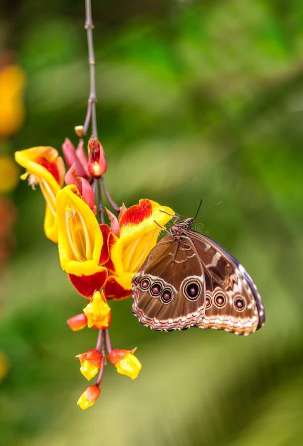 Peleides Morpho blu sul fiore del fiore immagini stock