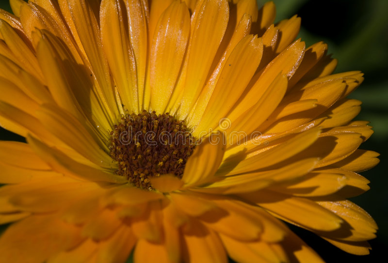 peleryna afrykańskiej daisy dimorphotheca makro sinuata nagietka obraz stock