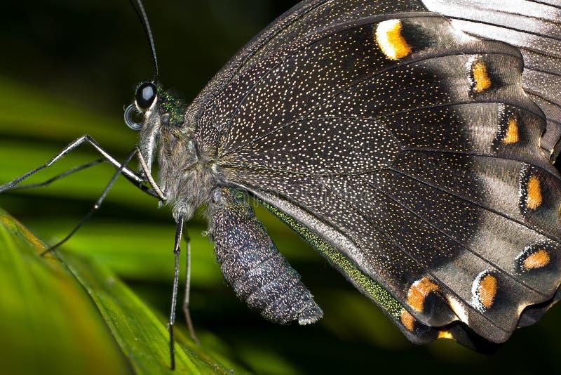 peleryna motyla zdjęcie royalty free