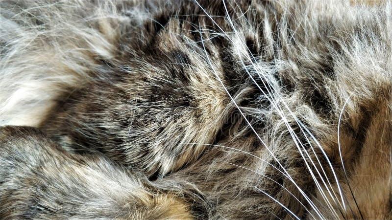 Peli della lana della fine siberiana lanuginosa del gatto su immagine stock libera da diritti