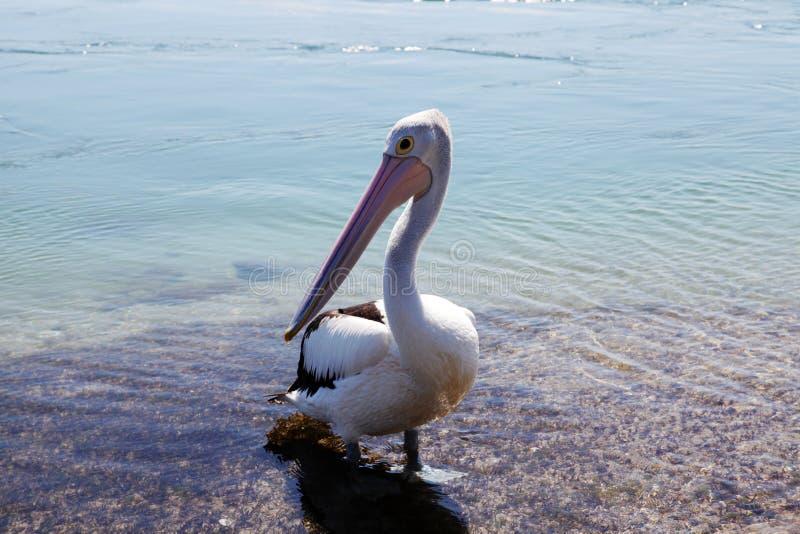 Pelican @湖Macquarie,澳大利亚 图库摄影