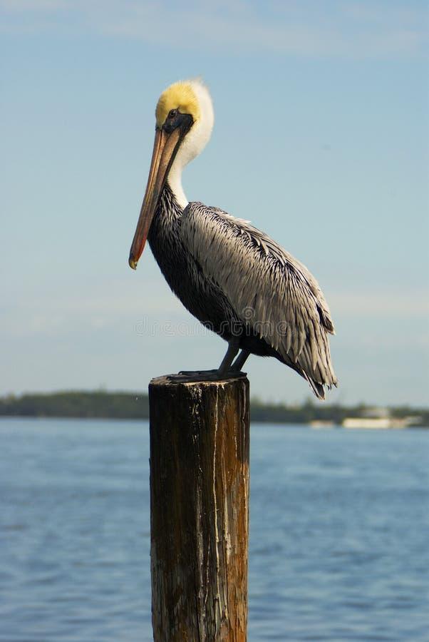 Pelican-1 immagini stock