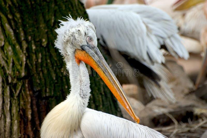 Pelican Free Stock Photos