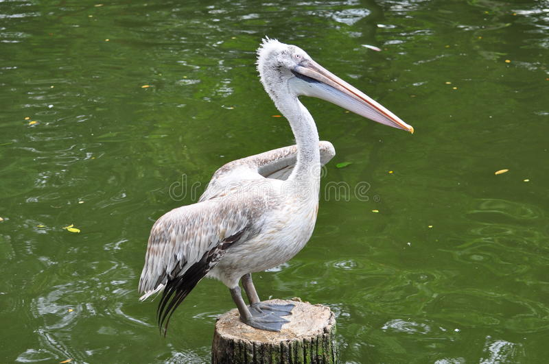 Download A Pelican stock image. Image of pelecanidae, wildlife - 13275517