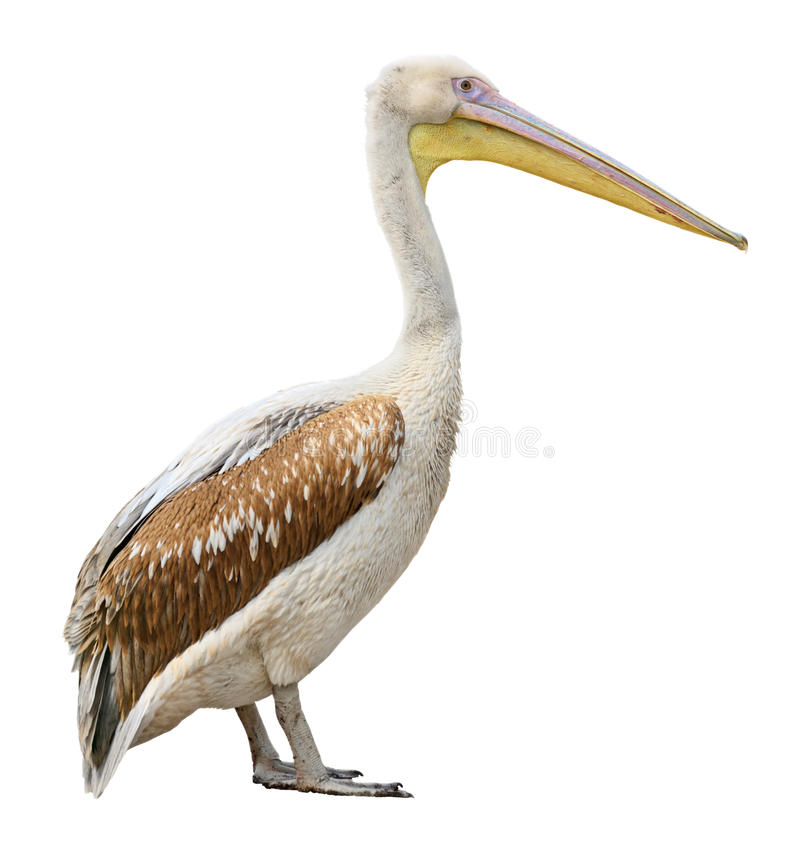 Pelican. Bird side view isolated on white background with clipping path. Find more isolated fauna species in