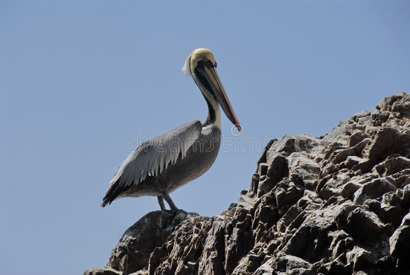 Download Pelican stock image. Image of birds, guano, pacific, bird - 14809087