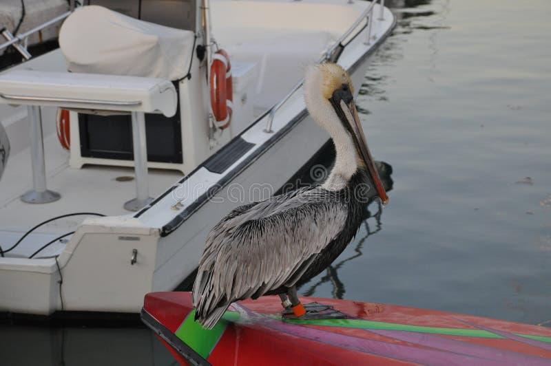 Pelican foto de stock royalty free