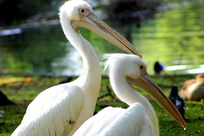 Pelican foto de stock