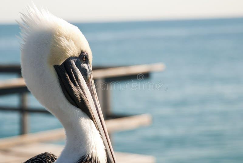Pelican. Head detail at Miami on a pier - Miami (USA 2010 stock image