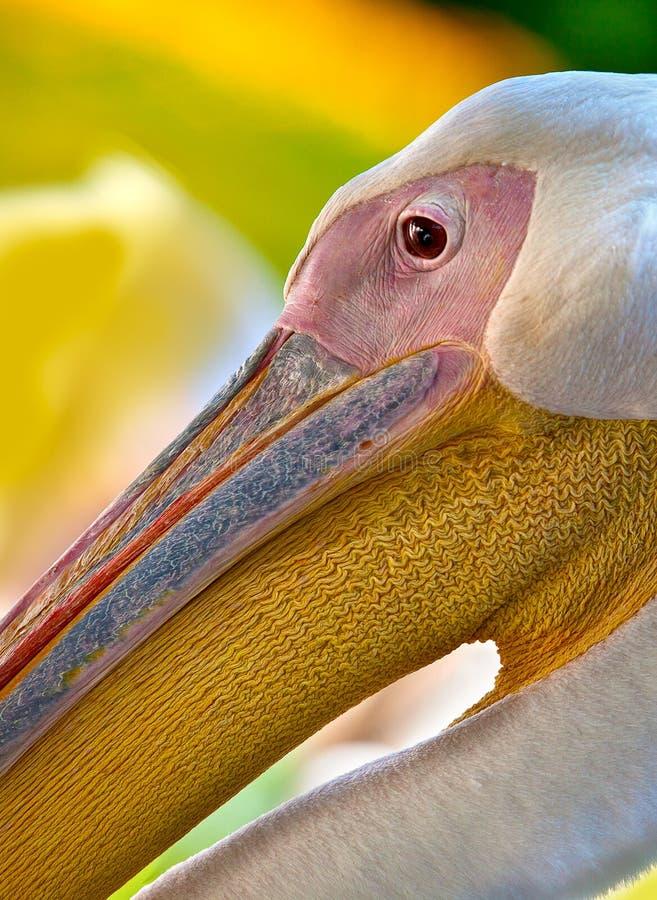 Free Pelican Royalty Free Stock Photo - 19095685