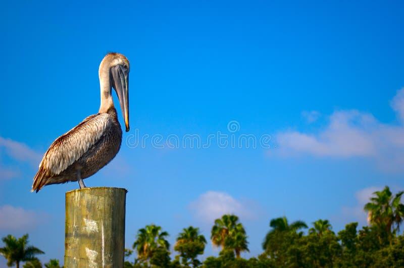 Download Pelican stock photo. Image of wildlife, outdoor, bird - 2109118