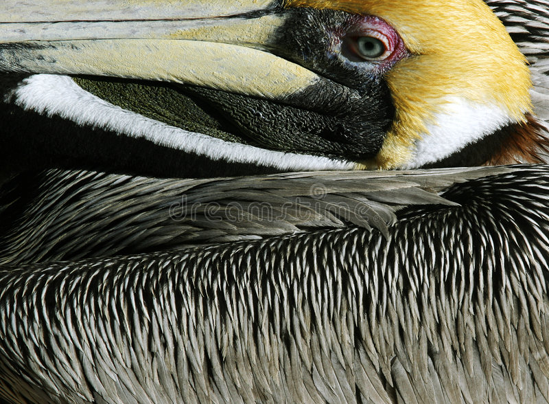 Pelican. Colorful pelican resting on a hot summer day stock photography