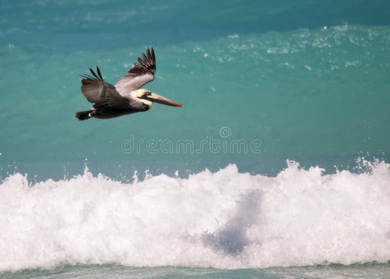 Download Pelican stock image. Image of wild, pelican, flying, bird - 23688551
