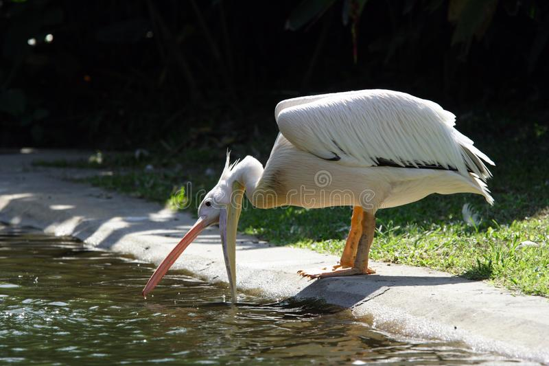 Pelican Free Stock Images