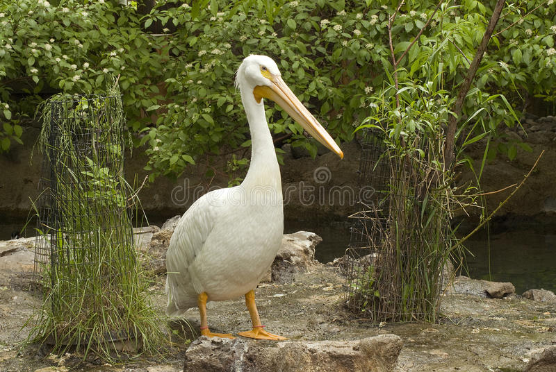 Download Pelican stock photo. Image of marshes, captivity, rock - 25039926