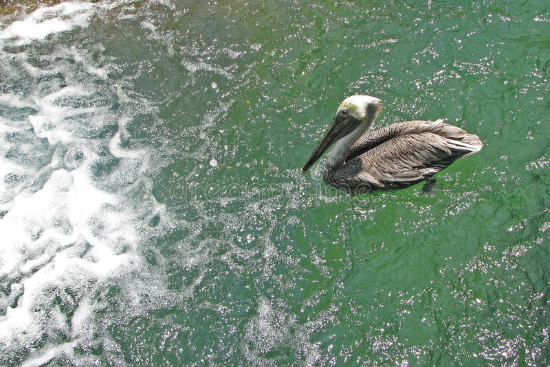 Download Pelican stock image. Image of green, landscape, neck - 26318883