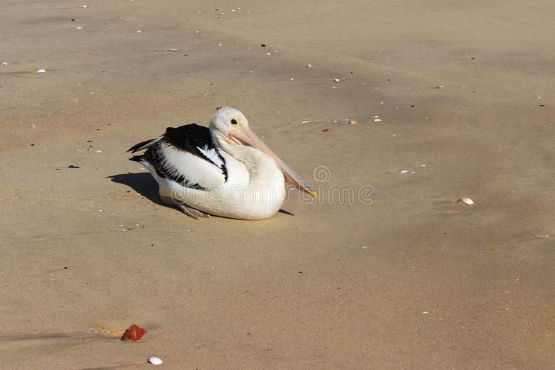 Download Pelican stock image. Image of animals, wing, beach, wild - 26654615