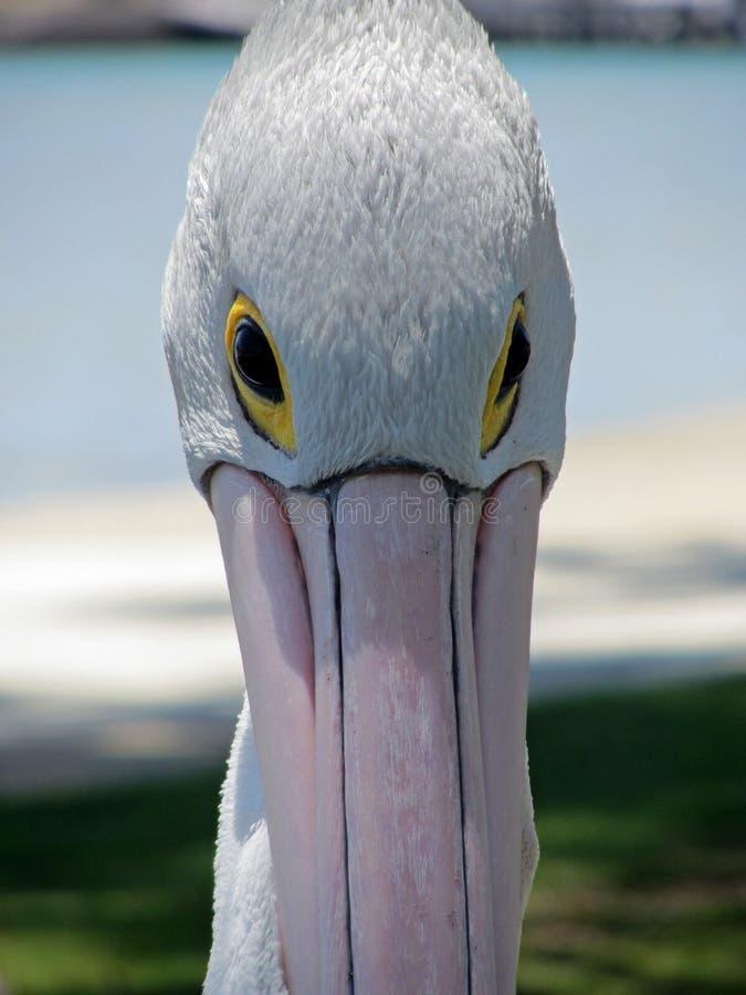 Download Pelican stock image. Image of head, nature, native, closeup - 26799483