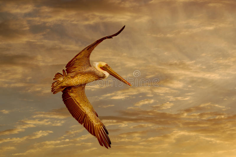 Download Pelican stock image. Image of brown, freedom, gold, wild - 27000715