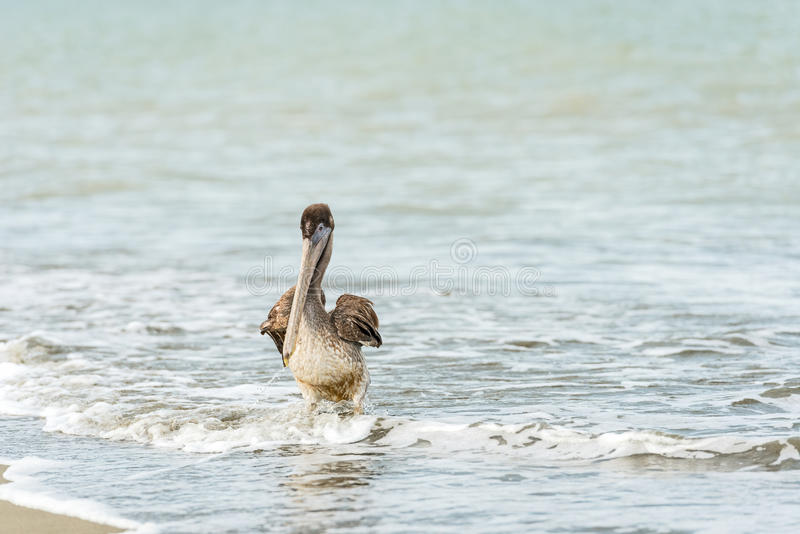 Download Pelican stock photo. Image of angle, rompio, view, flying - 27983124