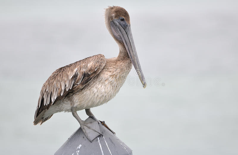Download Pelican stock image. Image of long, bill, feathered, plumage - 28277105