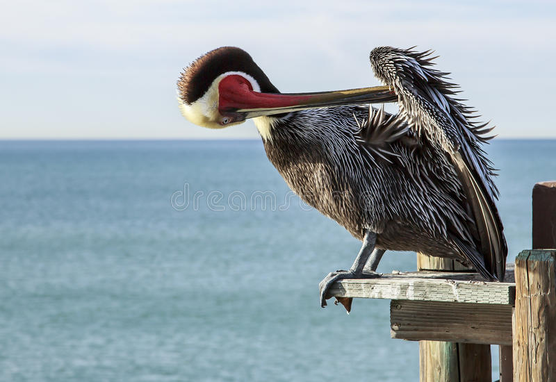 Download Pelican stock image. Image of california, details, pier - 29502251
